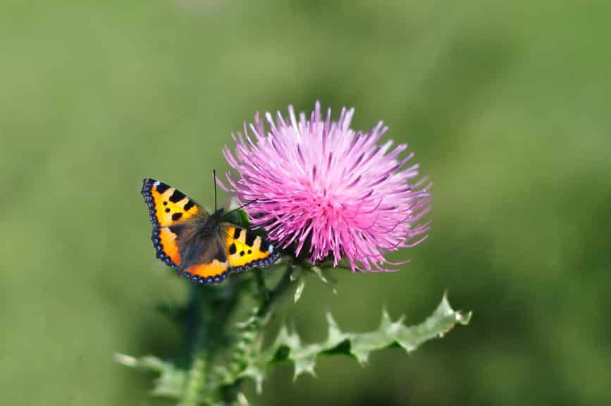 What are the Benefits of Milk Thistle Seed? 2