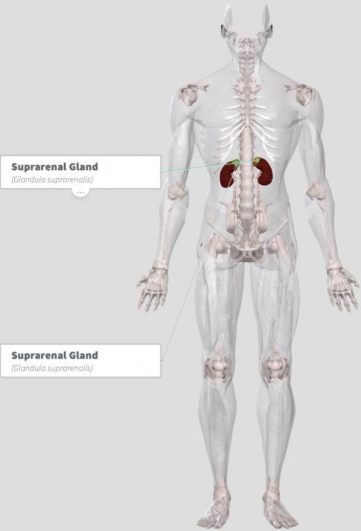 Adrenal Formula Anatomy