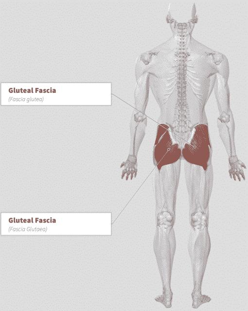 Aguaje (Mauritia flexuosa) Anatomy