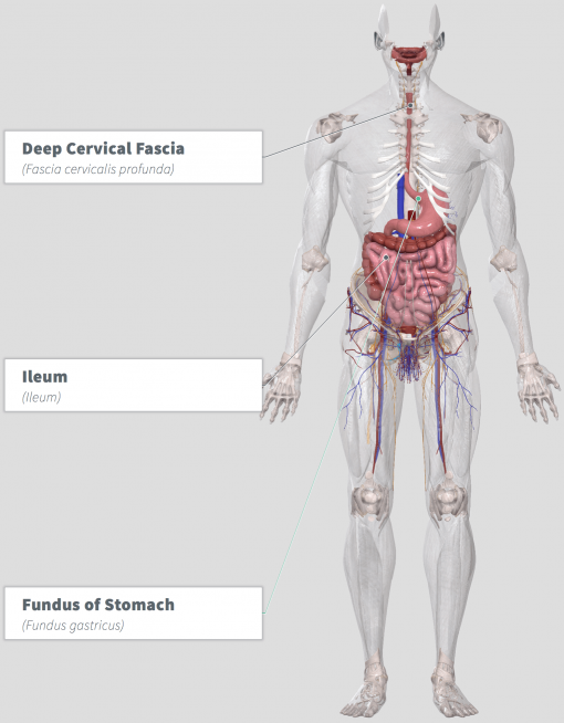 Medicago sativa Anatomy