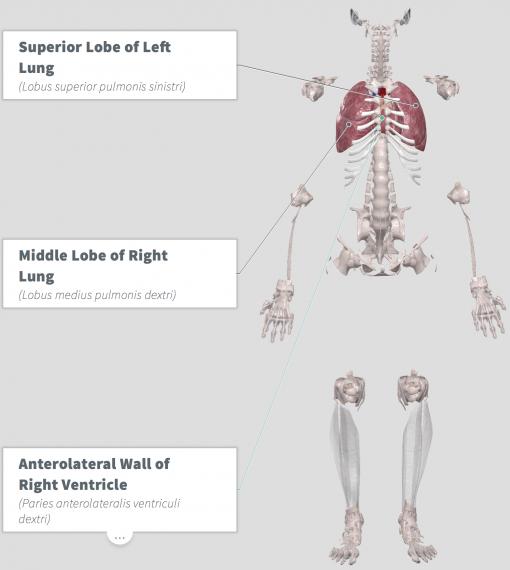 Amla Anatomy