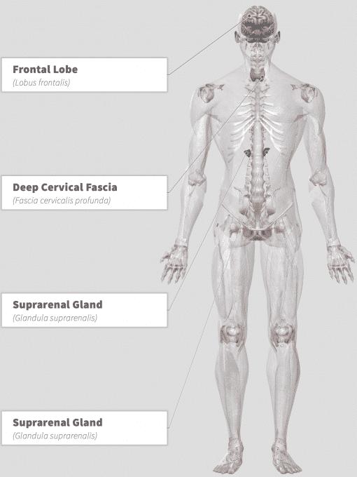 Ashwagandha (Withania somnifera) Anatomy