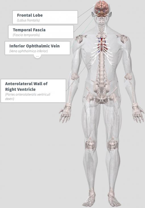 Camu Powder Benefits Anatomy