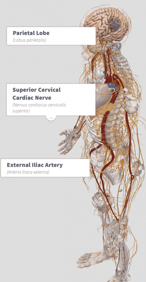 Bacopa (Bacopa monnieri) Anatomy