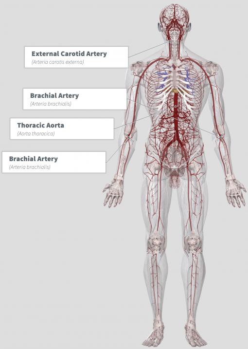Canchalagua (Schkuhria pinnata) Anatomy