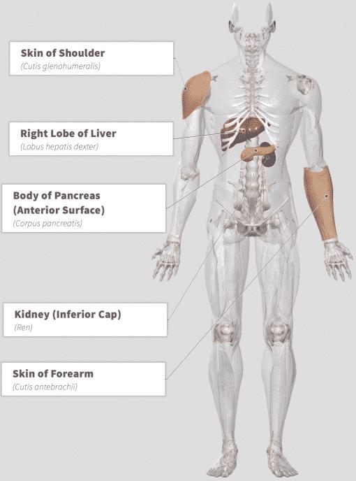 Chaga (Inonotus obliquus) Anatomy