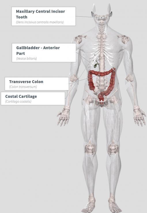 Coral Calcium (calcis) Anatomy