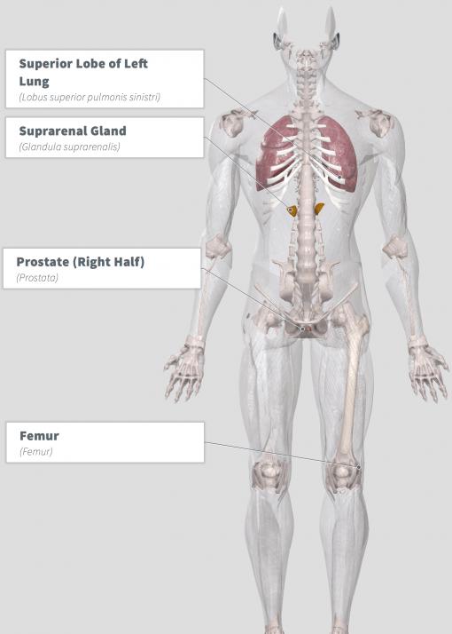 Cordyceps (Cordyceps sinensis) Anatomy