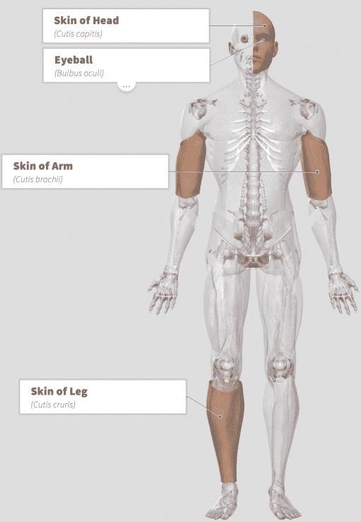 Dunaliella salina Anatomy