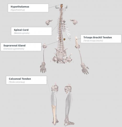 E.ulmoides Anatomy