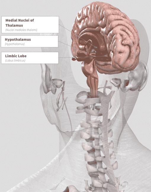 Garcinia Cambogia (Malabar tamarind) Anatomy