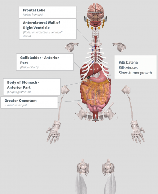 Graviola (Annona muricata) Anatomy