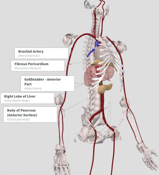 Healthy Blood Formula Anatomy