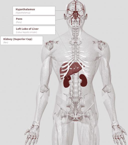 Hydrilla (Hydrilla verticillata) Anatomy