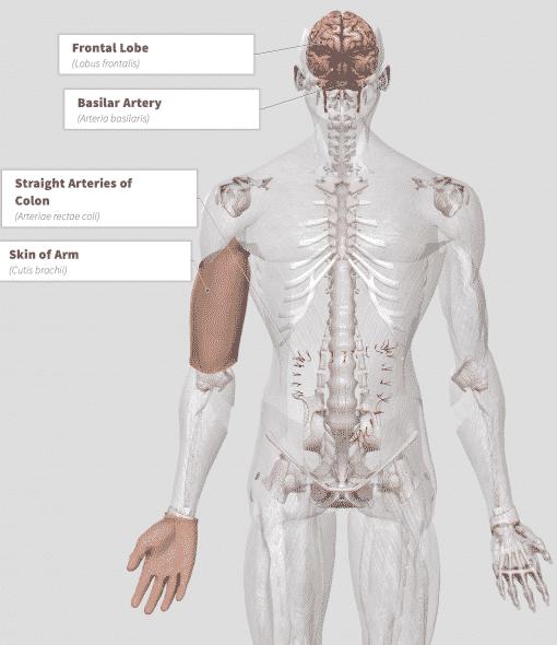 Jujube (ziziphus jujuba) Anatomy