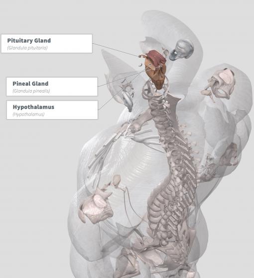 Kanna Anatomy