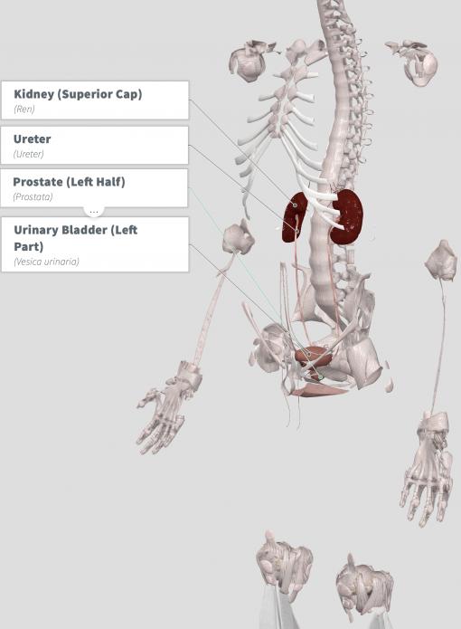 Love Muscle (Male stimulator) Anatomy