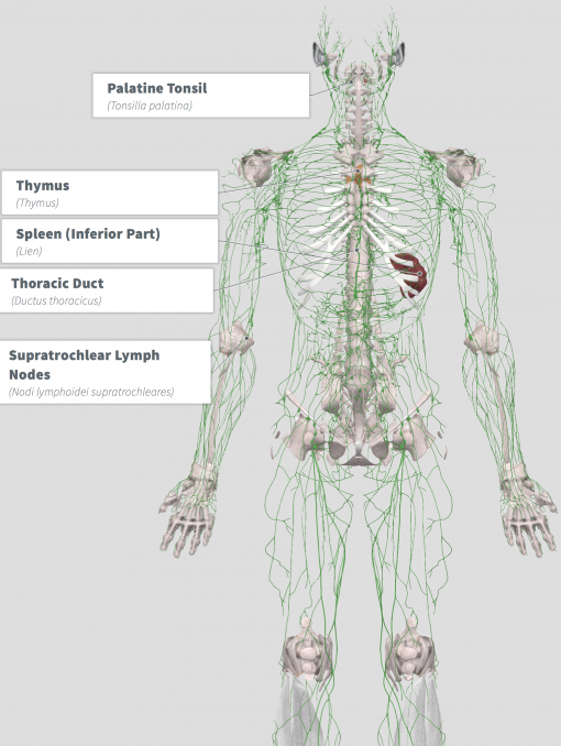 Lymphatic Cleanse Anatomy