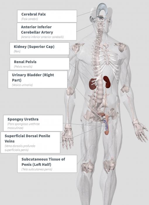 Mondia whitei Anatomy