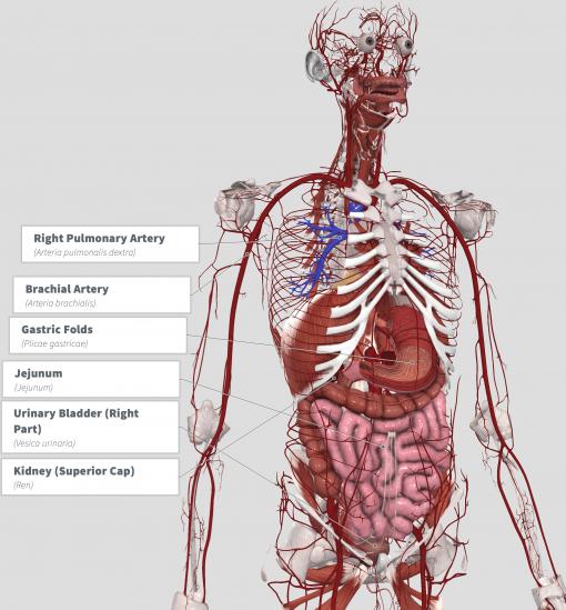 Mutamba (Guazuma ulmifolia) Anatomy