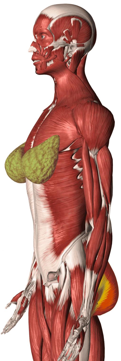 Pueraria (Pueraria mirifica) Anatomy