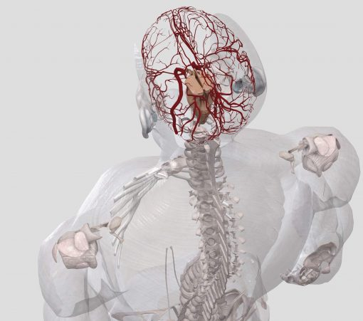 Red Ginseng (Panax ginseng) Anatomy