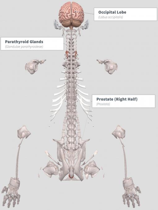 Rhodiola rosea Anatomy