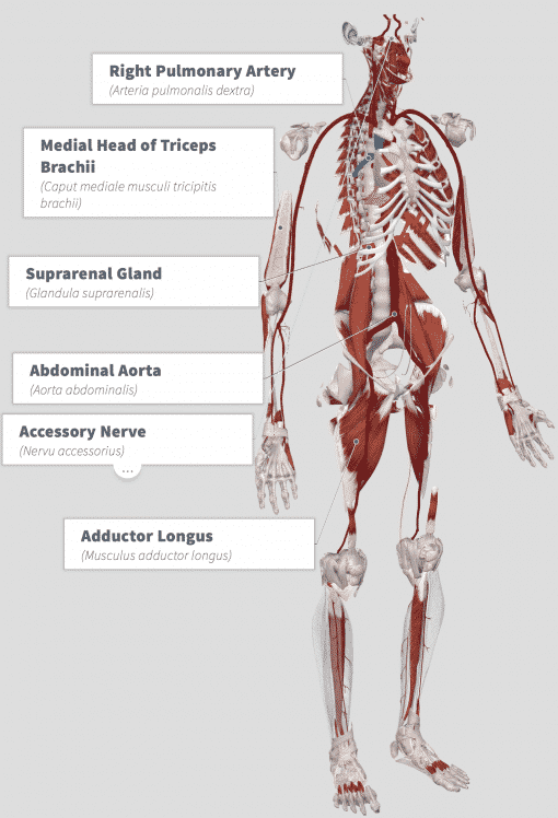 Suma (Pfaffia paniculata) Anatomy