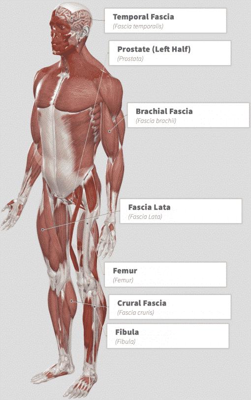 Tongkat Ali (Eurycoma longifolia) Anatomy