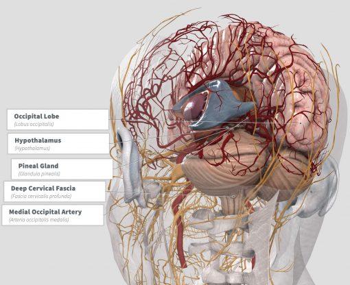 Synaptolepis kirkii Anatomy