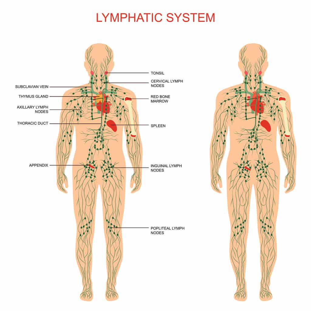 What is The Lymphatic system