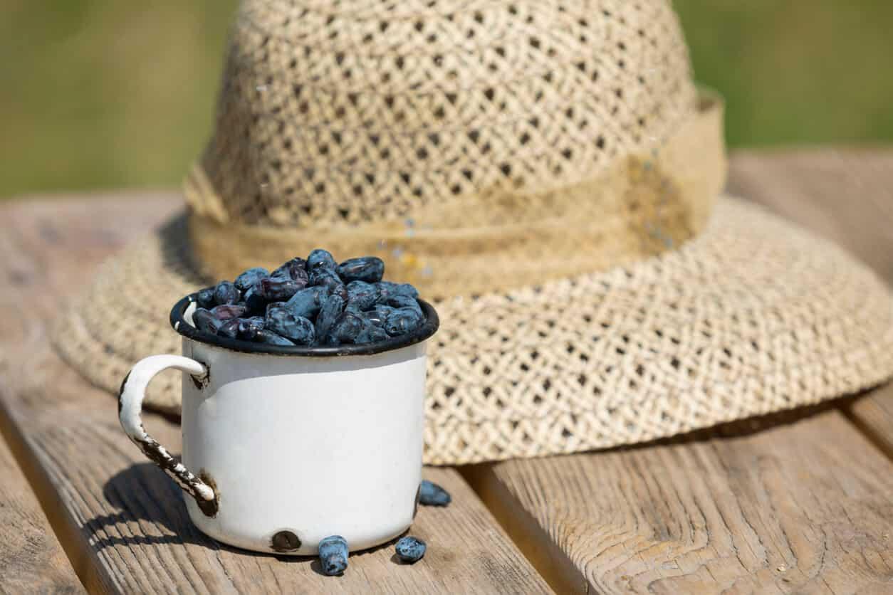 Blue honeyberry berries